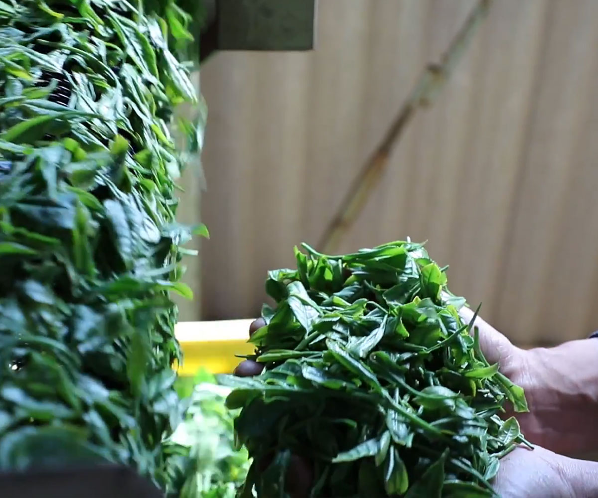 We carefully chose only the highest quality green tea grown by well renowned tea masters.